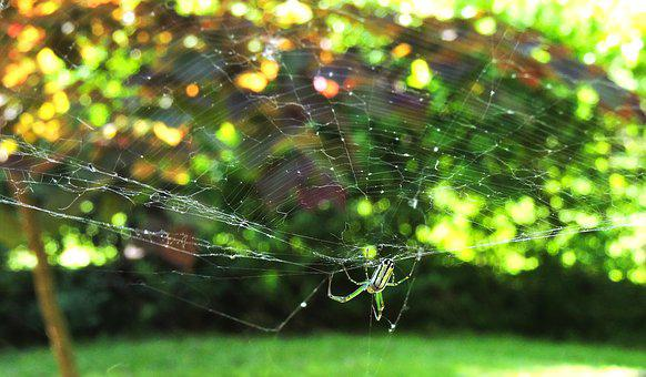 Orchard Spider, Orb Web Spider, Spiders, Spiderweb