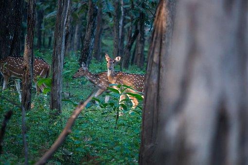 Spotted Deer, Deer, Forest, Spotted, Animal, Mammal