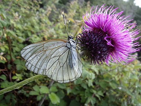 Butterfly, Gassed, Thistle, Insect, Macro, Cévennes