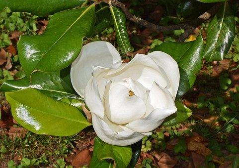 Dinner-plate Magnolia, Flower Opening, Magnolia, Tree