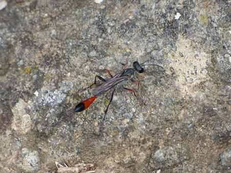 Ammophila Sabulosa, Wasp, Strange Insect