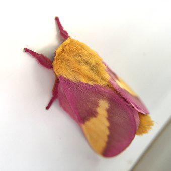 Rosy Maple, Moth, Pink, Yellow, Dryocampa, Rubicunda