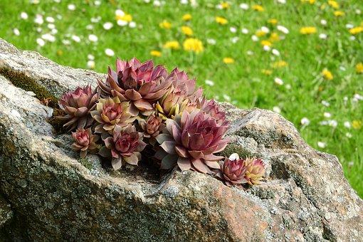 Netřesk, Sempervivum, Tlusticovité, Red, Alpine