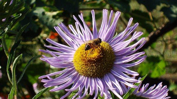 Bee, Bjola, Flower Bed