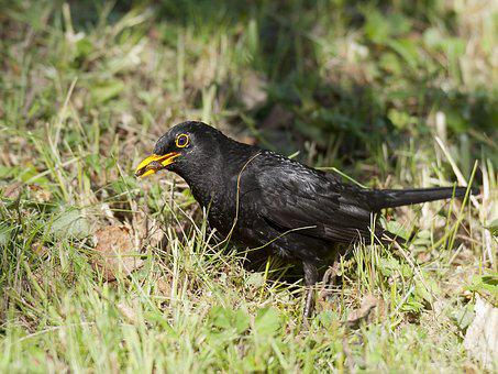 Blackbird, Insects, Caught