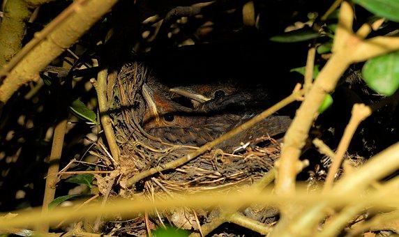 Bird's Nest, Young Birds, Blackbirds, Hedge Hidden