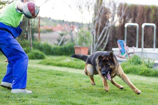 German Shepherd, Dog, Dogs, Animal, Is Watching