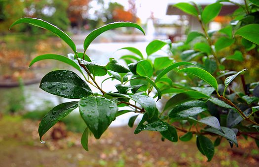Rain, Green, Drop Of Water, Japan, Leaf, Flowers