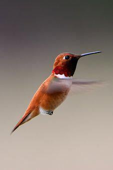 Bird, Hummingbird, Wildlife, Flying, Feather, Colorful