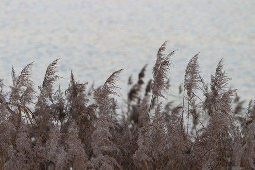 Water, Reed, Lake, Bank, Nature, Plant