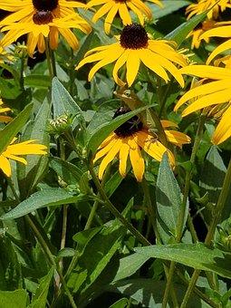 Black Eyed Susan, Daisy, Lizard, Perennial Flowers