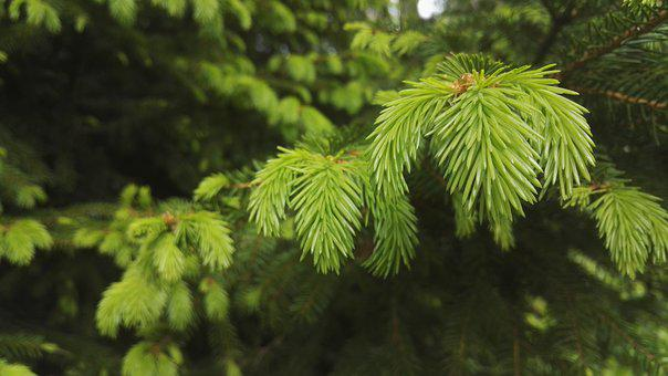 Christmas Tree, Six, Conifer, Needles, Growth