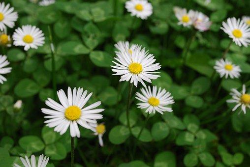 Garden, Daisy, Plant, White, Spring, Blossom, Bloom