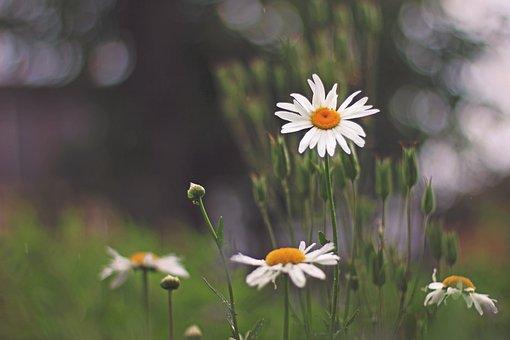 Daisy, Flower, Garden, Nature, Spring, Summer, Plant