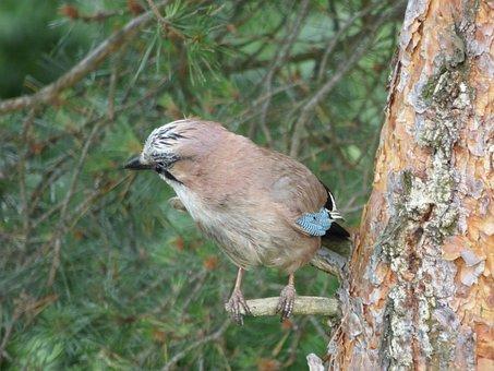 Jay, Bird, Birds, Wet, Pine