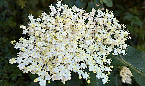 Plant, Elder, White Flowers, Flower Umbel