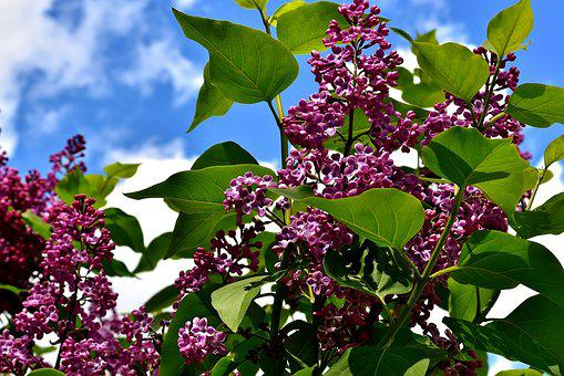 Lilac, Bush, Bloom, Lilac Branch, Plant, Blossom, Bloom