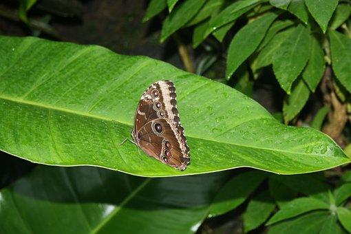 Butterflies, Braun Butterfly, Tropical Fauna Flora