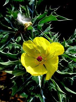 Cnicus, Benedictus, Thistle, Santo, Plant, Flower