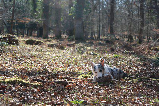 Collie, Dog, Cute, Forest, New Forest, Hampshire