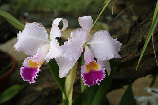 Orchids, Tropcal Flowers, White Purple Flowers, Flora