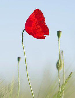 Poppy, Red, Grasshopper, Flower, Corn, Meadow, Sky