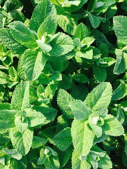 Peppermint, Plant, Tee, Drink, Summer, Garden, Kitchen