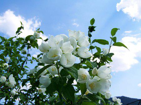 Jasmine, White Flower, Garden, Blue Sky
