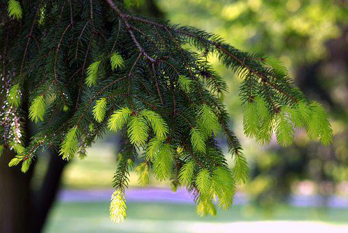 Spruce, Twigs, Young, Fresh, Spring, Green, Tree, Park