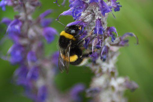 Bumble Bee, Bombus, Bee, Insect, Pollen, Flower, Black