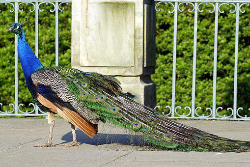 Peacock, Dashing, Bird, Park, Colored, Blue, Tail