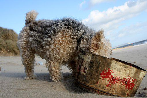 Lakeland, Terrier, Dog, Pet, Animal, Pedigree, Beach