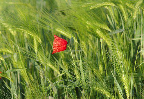 Poppy, Red, Grasshopper, Flower, Corn, Meadow, Sky