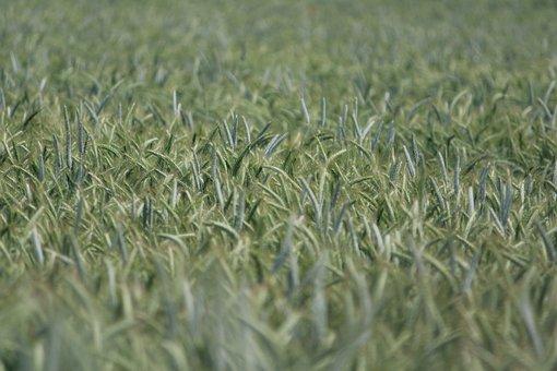 Rye, Rye Field, Cereals, Grain, Food, Field, Cornfield