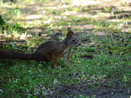 Squirrel, Rodent, Forest, Hazel, Nature, Glean, Fauna