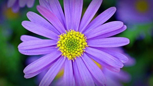 Blue Asterisk, Flower, Blossom, Bloom, Summer Flowers