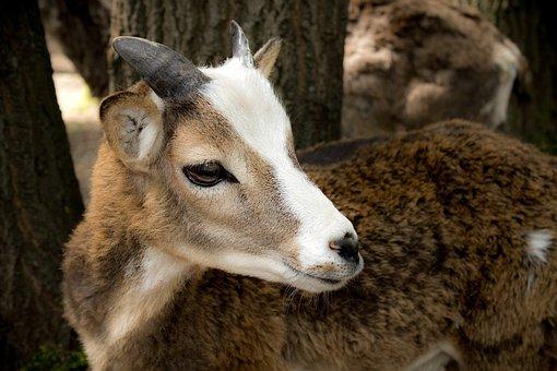 Goat, Kid, Zoo, Fallow Deer, Nature, Animal, Summer