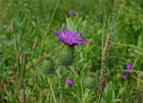 Common Thistle, Wildflower, Flower, Blossom, Bloom