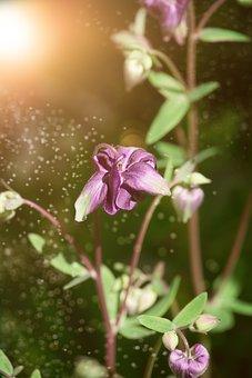 Columbine, Flower, Blossom, Bloom, Violet, Flora