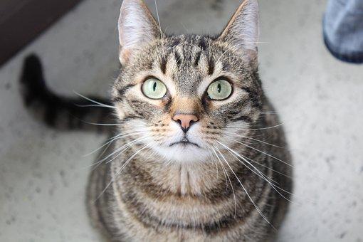 Cat, Mieze, Face, Domestic Cat, Animal, Tiger Cat