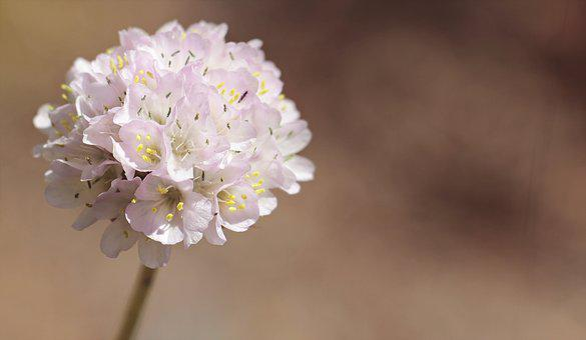 Alpine-grass Elke, Flower, Armeria Alpina