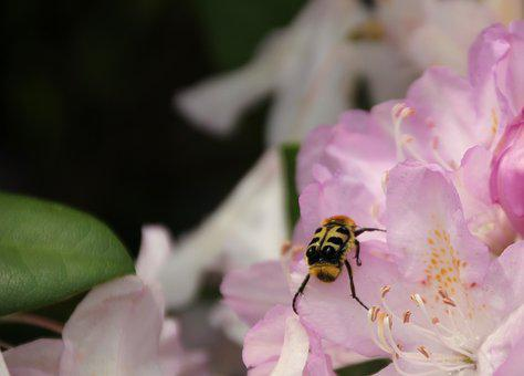 Brush Beetle, Insect, Beetle, Close Up, Garden, Flower
