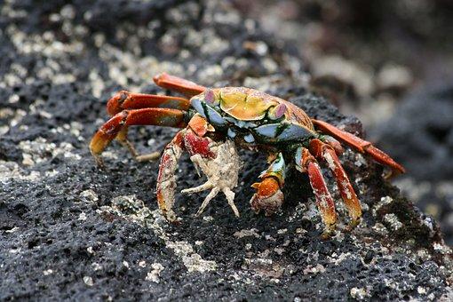 Sally, Lightfoot, Crab, Galapagos