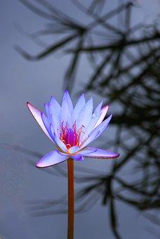 Lotus, Water, Nature, Flower, Floral, Pond, Garden