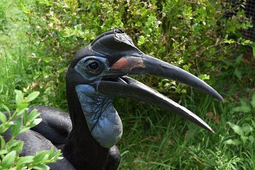 Ground Hornbill Abyssinian, Bird, Dinosaur
