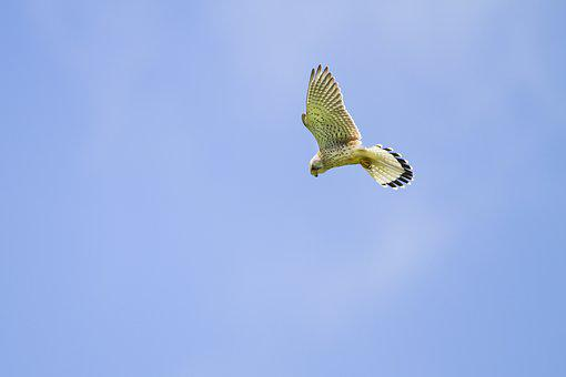 Kestrel, Falcon, Vibrating Flight, Raptor, Freilebend