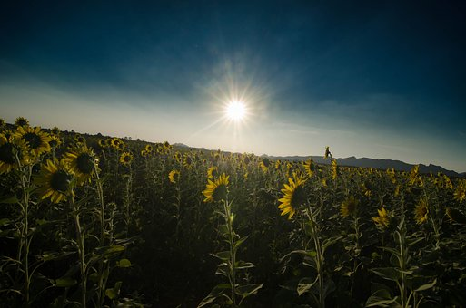 Sun Flower, Sunset, Khao Chin Lae, Lop Buri, Thailand