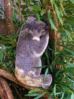 Koala, Australia, Animal, Tree, Cute, Bear, Eucalyptus