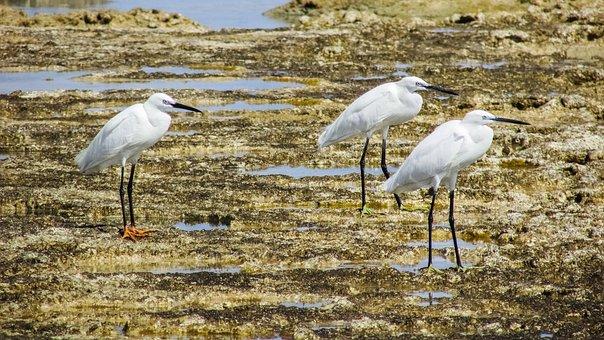 Little Egret, Birds, Sea Birds, Animal, Nature