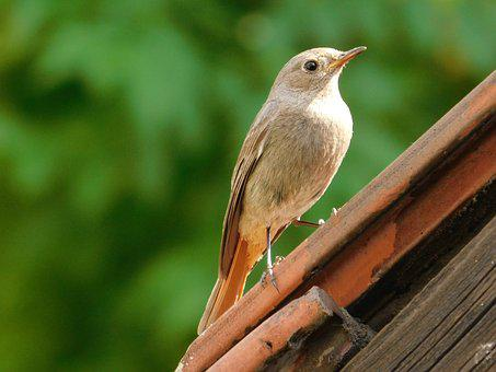 žltochvost House, Phoenicurus Ochruros, Bird